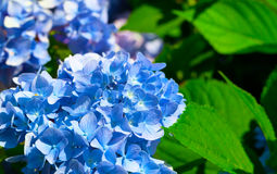 Blue flower of Hydrangeaceae. Family of flowering plants in the order Cornales stock image