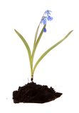 Blue flower, isolated. Royalty Free Stock Photography