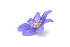 Blue flower isolated Stock Photo