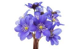 Blue flower isolated Stock Photos