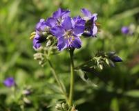 Blue flower Jacob`s ladder Polemonium ,cultivated flower. The Jacob`s ladder flower growing in a summer organic garden. Medicinal plant Stock Photos