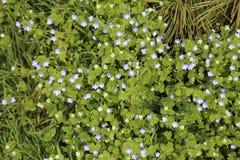 Blue Flower Stock Images