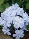 Blue flower. Little blue flower so beautiful Stock Photos