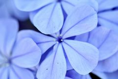 Blue flower macro Royalty Free Stock Images