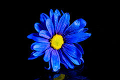 Blue Flower Macro. Macro shot of a blue flower with water droplets on a black background in a studio stock image