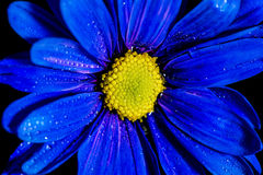 Blue Flower Macro. Macro shot of a blue flower with water droplets on a black background in a studio stock photo