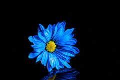 Blue Flower Macro. Macro shot of a blue flower with water droplets on a black background in a studio royalty free stock images