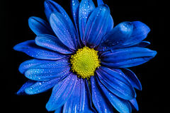 Blue Flower Macro. Macro shot of a blue flower with water droplets on a black background in a studio royalty free stock photography