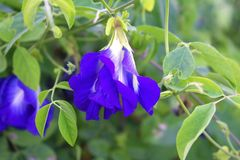 Blue flower in the morning royalty free stock photography