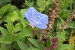 Blue Flower. Morning dew covered blue morning glory flower Stock Photography