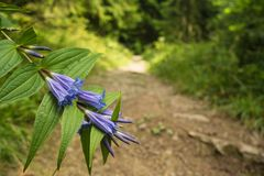 Blue flower on a mountain trail stock photos