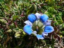 Blue flower, Nepal Royalty Free Stock Photo