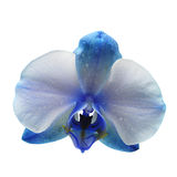 Blue flower orchid isolated on white background Royalty Free Stock Images