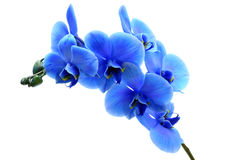 Blue flower orchid Royalty Free Stock Image