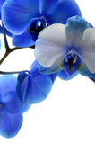 Blue flower orchid Royalty Free Stock Images