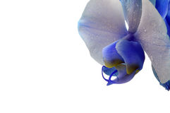 Blue flower orchid Stock Photo