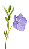 blue flower periwinkle isolated Stock Images