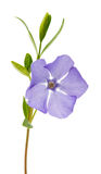 blue flower periwinkle isolated Stock Photography