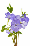 blue flower periwinkle isolated Royalty Free Stock Photos
