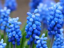 Blue, Flower, Plant, Hyacinth Royalty Free Stock Image