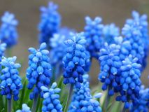 Blue, Flower, Plant, Hyacinth Stock Image