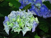 Blue, Flower, Plant, Hydrangea stock photography