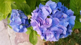 Blue, Flower, Plant, Hydrangea stock photo
