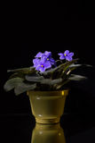 Blue flower in a pot on a dark background with reflection Stock Photos