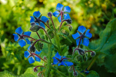 A blue flower in spring Royalty Free Stock Photography