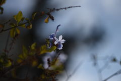 A blue flower. Striving to catch the last light of the sun Royalty Free Stock Photo