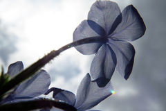 Blue Flower in the Sun Royalty Free Stock Images
