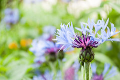 Blue flower in sunny summer day Royalty Free Stock Images