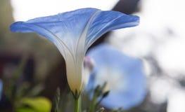 Blue flower Royalty Free Stock Photo