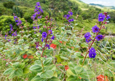 Blue Flower in Vallee des Couleurs in Mauritius. National Park Stock Photography