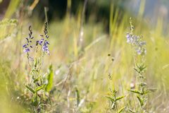 Blue flower Veronica teucrium on sunny meadow Stock Photos