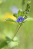 Blue flower Veronika dubravny Stock Photos