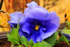 Blue flower-violet. Blue flower-Viola  wittrockiana Gams Stock Image