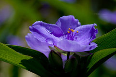 Blue flower with water drop Stock Image