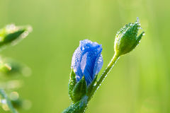 Blue flower with water drops Royalty Free Stock Photos