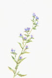 Blue flower watercolor painting Stock Photos
