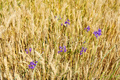 Blue flower on  wheat field  background Royalty Free Stock Photography