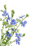 Blue flower on a white background Royalty Free Stock Image