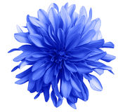 Blue flower on a white background isolated with clipping path. Closeup. Big shaggy flower. Dahlia stock images