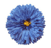 Blue flower, white isolated background with clipping path.  Closeup Stock Photos
