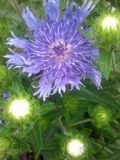 Blue flower. With white lights Stock Photography