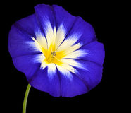 Blue Flower with White Yellow Star Center Isolated Royalty Free Stock Photography