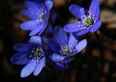 Blue flower with withe pistil. Hepatica close-up early sprig royalty free stock photos