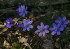 Blue flower with withe pistil. Hepatica  early sprig stock images