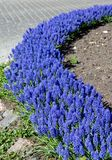Blue flowerbed. A curved flowerbed with blue flowers - Garden Grape hyacinth (muscari armeniacum Stock Image