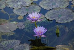 Blue-Flowered Nymphaea Nouchali - Waterlily Pond royalty free stock photography
